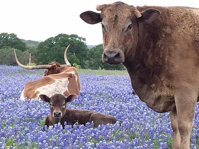 Longhorn And Bay Cow Resting In Bluebonnets Poster by Colleen Dyer