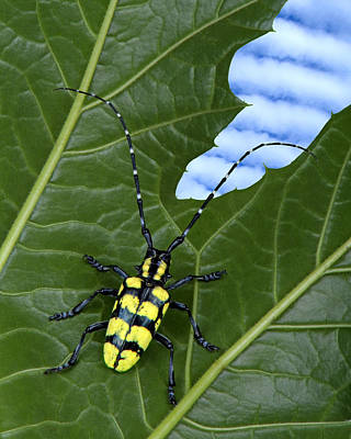 Longhorn Beetle On Plant Poster by Robert Jensen