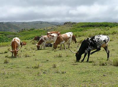 Longhorn Cattle Poster