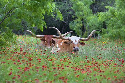 Longhorns In A Field Of Texas Wildflowers Poster