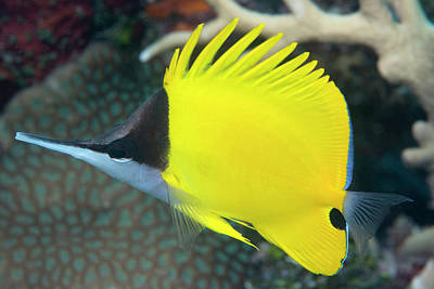 Longnose Butterflyfish On A Reef Poster