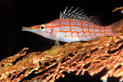 Longnose Hawkfish On Coral Poster by Louise Murray