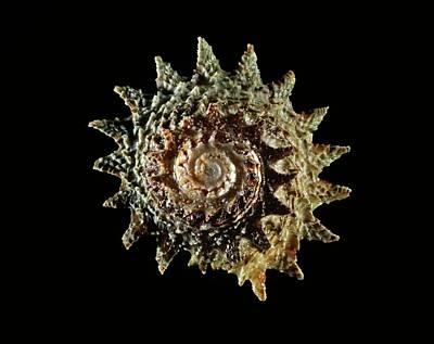 Longspine Starsnail Shell Poster by Gilles Mermet