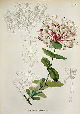 Lonicera Splendida Poster by British Library