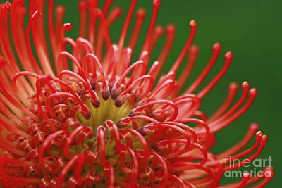 Look Inside Pincushion Flower Poster