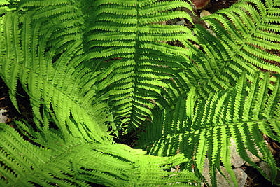 Looking Down At A Cinnamon Fern Poster