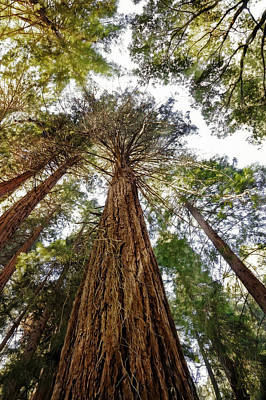 Looking Up - Redwood Trees Of Muir Woods  Poster by Jennifer Rondinelli Reilly - Fine Art Photography