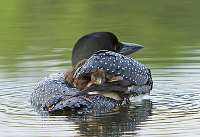 Loon Chick - Peek A Boo Poster