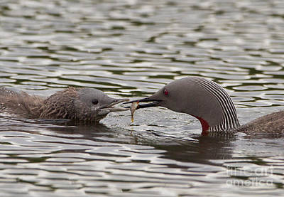 Loon Feeding Chick Poster