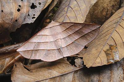 Looper Moth Male Mimics Dead Leaf Sabah Poster by Ch'ien Lee