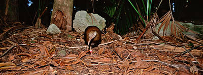 Lord Howe Woodhen Bird Standing Under Poster by Panoramic Images