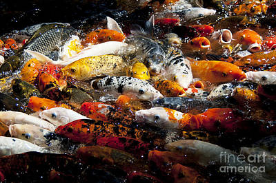 Poster featuring the photograph Lots Of Hungry Koi  by Wilma  Birdwell