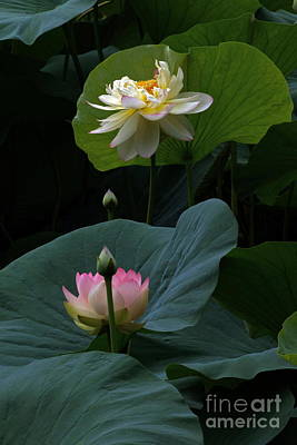 Lotus Beauties In White Pink Gold And Green Poster by Byron Varvarigos