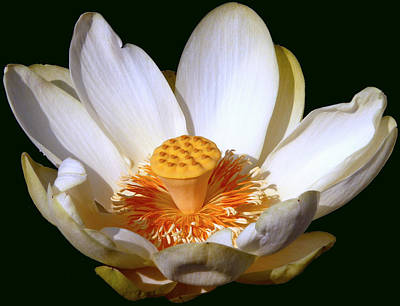 Poster featuring the photograph Lotus Blossom #2 by Jim Whalen