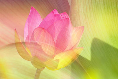 Lotus Blossom Poster by Robert Jensen