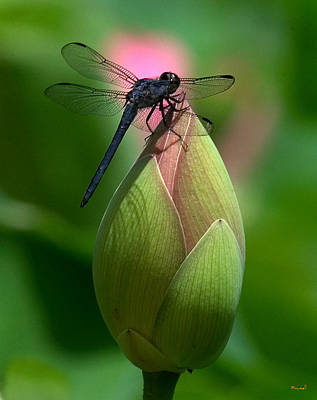 Lotus Bud And Slatey Skimmer Dragonfly Dl006 Poster