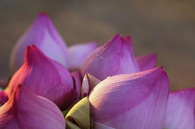 Lotus Flower Bud, Thailand Poster