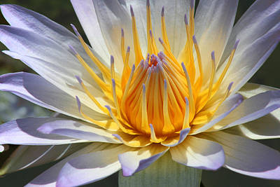 Blue Star Water Lily Poster
