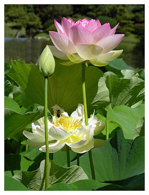 Lotus In Bloom Poster by John Lautermilch