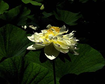 Poster featuring the digital art Lotus In Sunlight by John Freidenberg