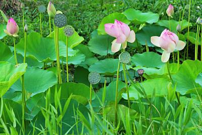 Lotus Pond, Guyana (large Format Sizes Poster