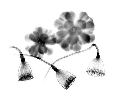 Lotus Seedheads And Houseleeks Poster by Albert Koetsier X-ray