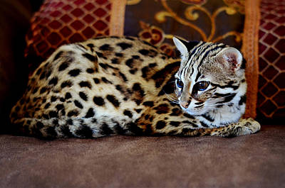 Lounging Leopard Poster