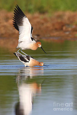 Poster featuring the photograph Love Avocet Style by Ruth Jolly