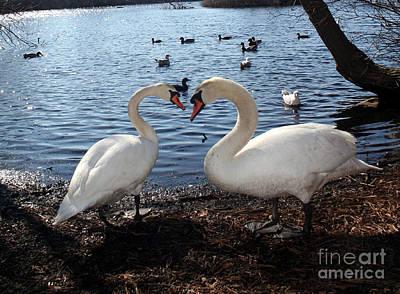 Love Bird Swans Poster