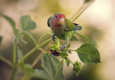 Lovebird On  Sunflower Branch  Poster