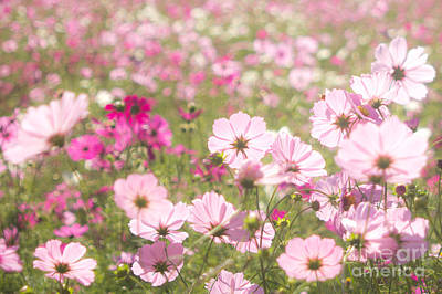 Lovely Backlit Pink And Fuchsia Cosmos Flower Field Poster
