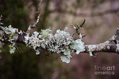 Lovely Lichen Poster by Victoria Lawrence