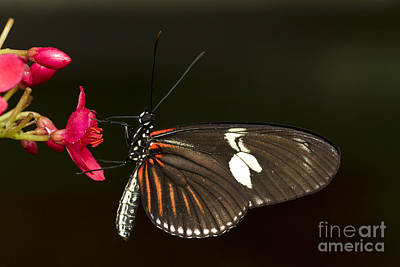 Lovely Longwing Poster by Bryan Keil