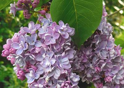 Lovely Luscious Lilacs Poster