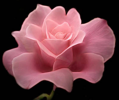 Poster featuring the digital art Lovely Pink Rose by Nina Bradica