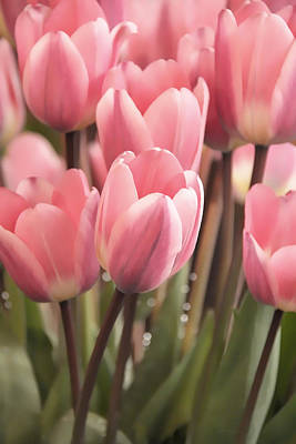 Lovely Pink Tulips In The Spring Garden Poster