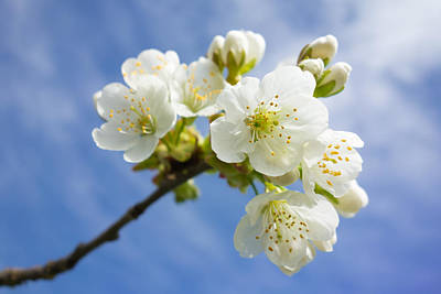 Lovely White Apple Blossoms On Branch Poster