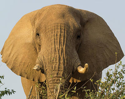 Low Angle View Of A Elephant, Palmwag Poster