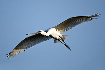 Low Angle View Of A Eurasian Spoonbill Poster
