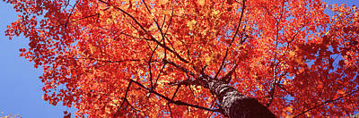 Low Angle View Of A Maple Tree, Acadia Poster