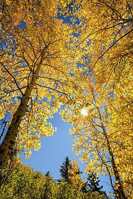 Low Angle View Upward Through Aspen Poster