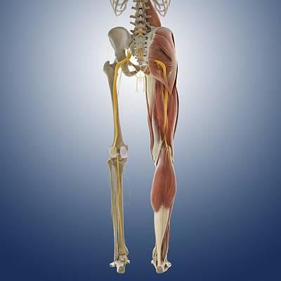 Lower Body Anatomy, Artwork Poster
