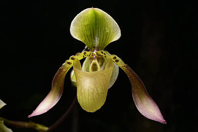 Lows Slipper Orchid Flower Borneo Poster by Ch'ien Lee