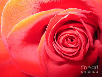 Luminous Red Rose 1 Poster by Tara  Shalton