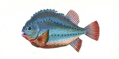 Lump Sucker, Cycloterus Lumpus, British Fishes Poster