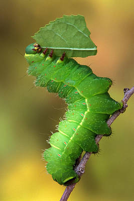 Luna Moth Caterpillar Eating Poster by Robert Jensen