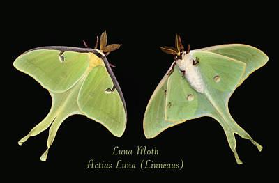 Luna Moth Poster by Kristin Elmquist