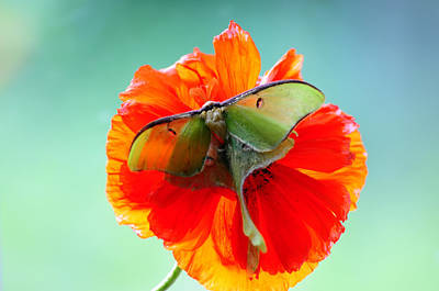 Luna Moth On Poppy Aqua Back Ground Poster