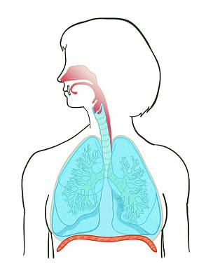 Lung Anatomy Poster by Jeanette Engqvist