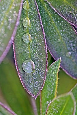 Lupin Leaves And Waterdrops Poster